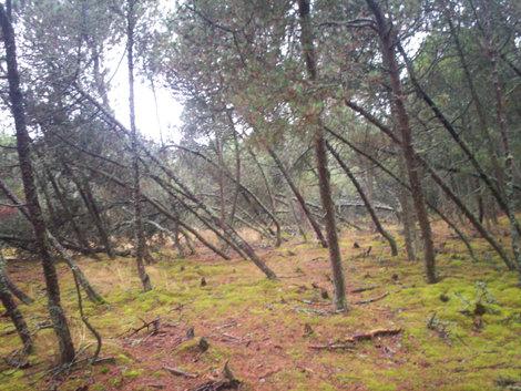 Танцующий лес, Калининград