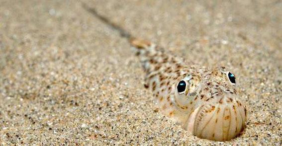 Морской дракончик в песке